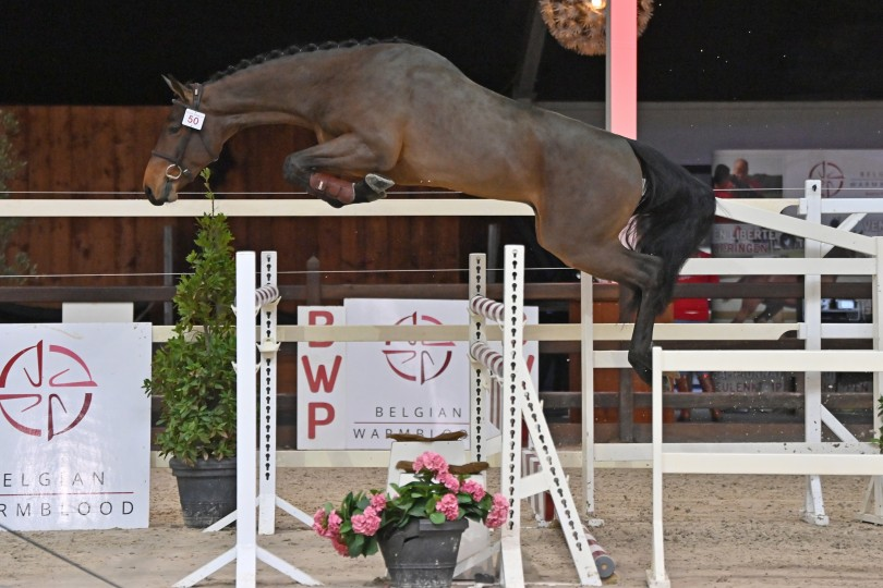 Simba M is qualified for the 3rd phase of BWP stallion approval!